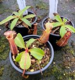 NCOL7 Nepenthes Collection 3